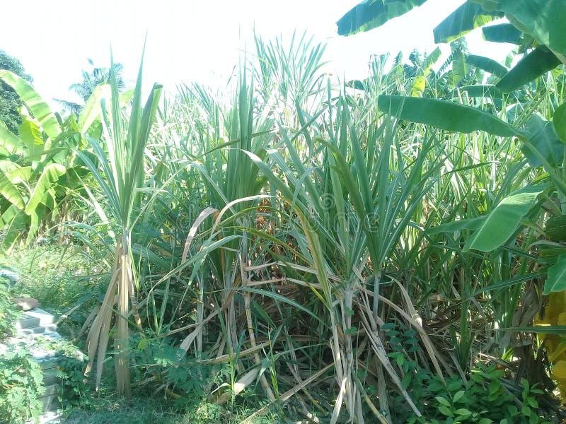 Sugar Cane foto de archivo libre de regalías