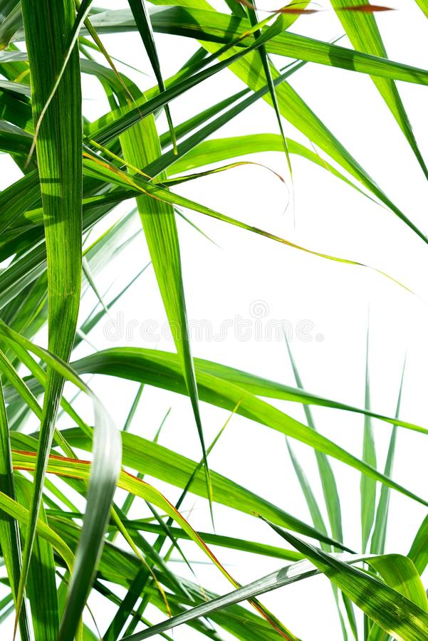 Free Sugar Cane Leaf Background Stock Photos - 47325723