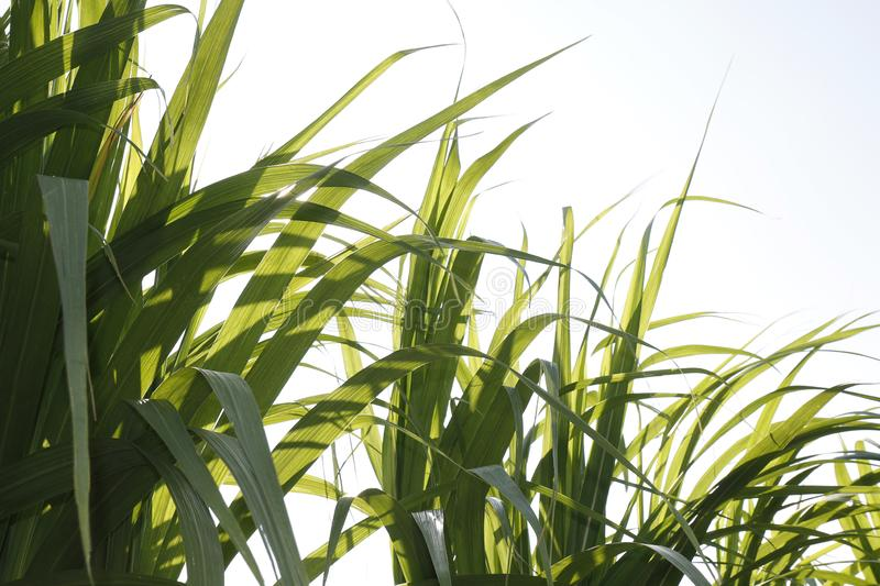 Sugar cane leaf green selective focus, Sugarcane leaf in plantation, Leaves of Sugar cane for nature background stock photo