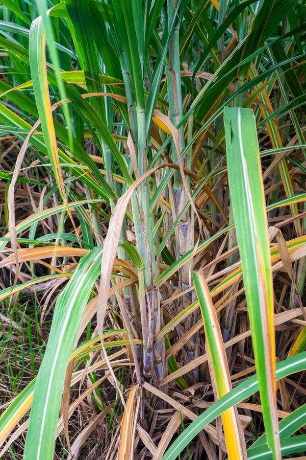 Sugar Cane nell'azienda agricola fotografia stock