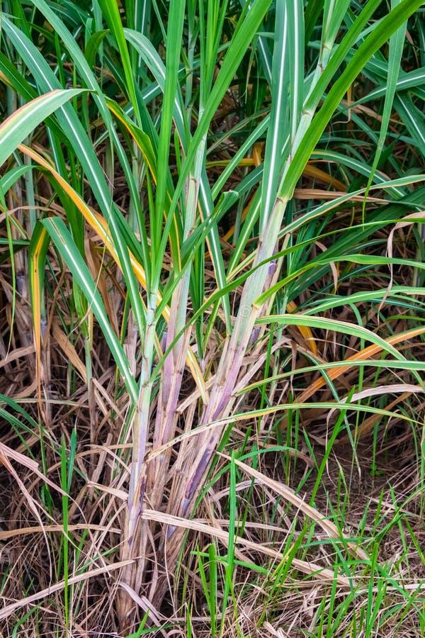 Sugar Cane nell'azienda agricola immagini stock