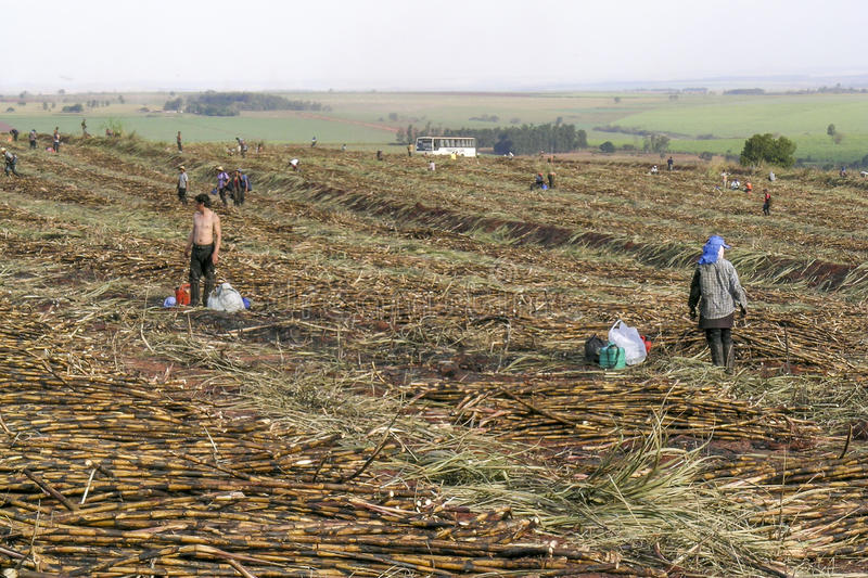 Sugar cane. Parana, Brazil, July 29, 2003. Workers in manual sugar cane harvest in Parana State, Brazil stock photography