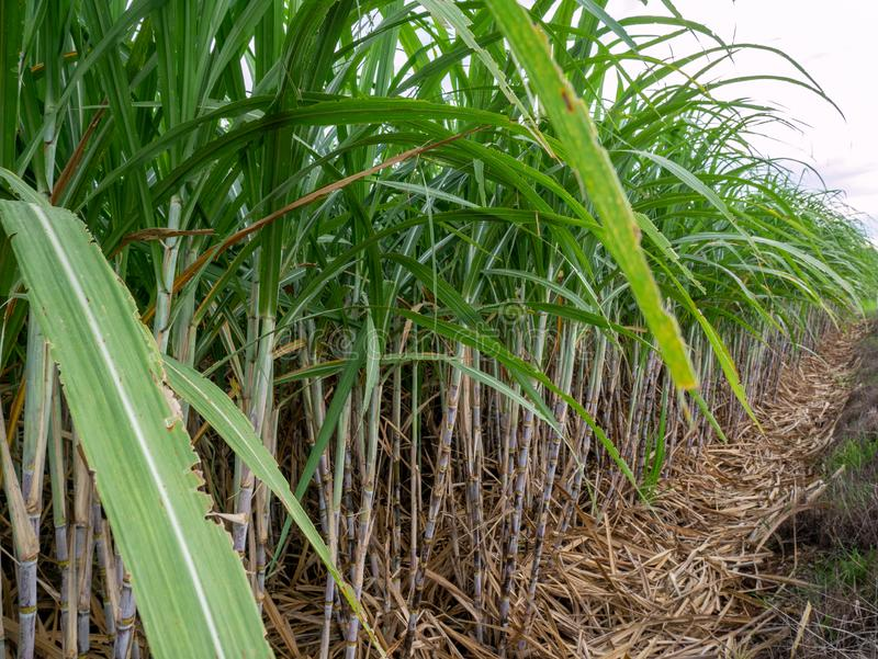 Sugar cane and part of sugar farm. Close up sugar cane with green leaf stock images