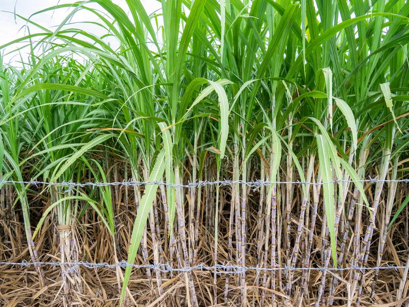Sugar cane and part of sugar farm. Close up sugar cane with green leaf royalty free stock image