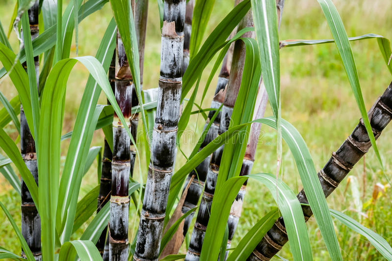 Sugar cane plant closeup tropical climate plantation agricultural crop organic raw growth horizontal royalty free stock photos