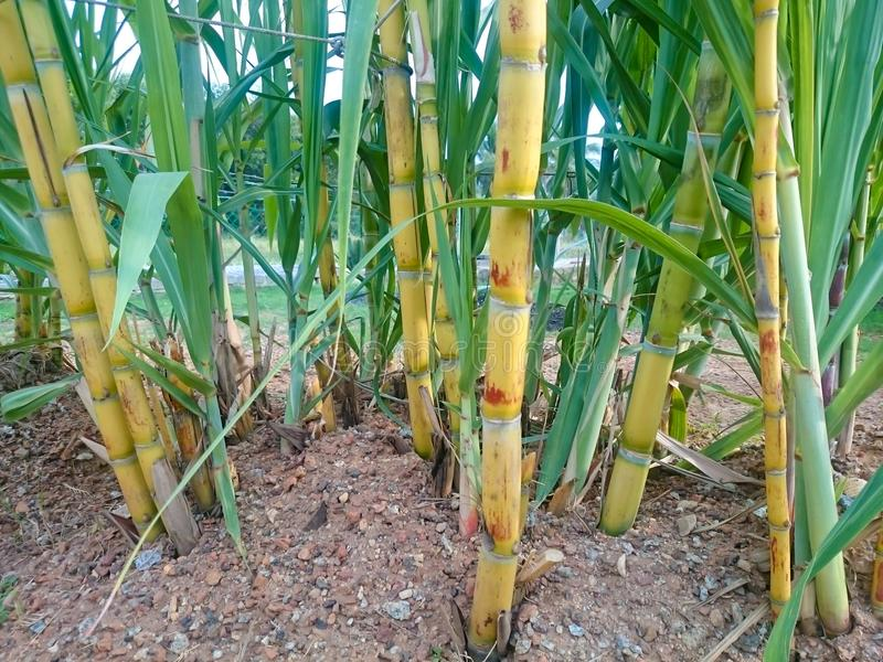 Sugar cane plant. Ation at the home yard. Yellow type after several month plant royalty free stock photography