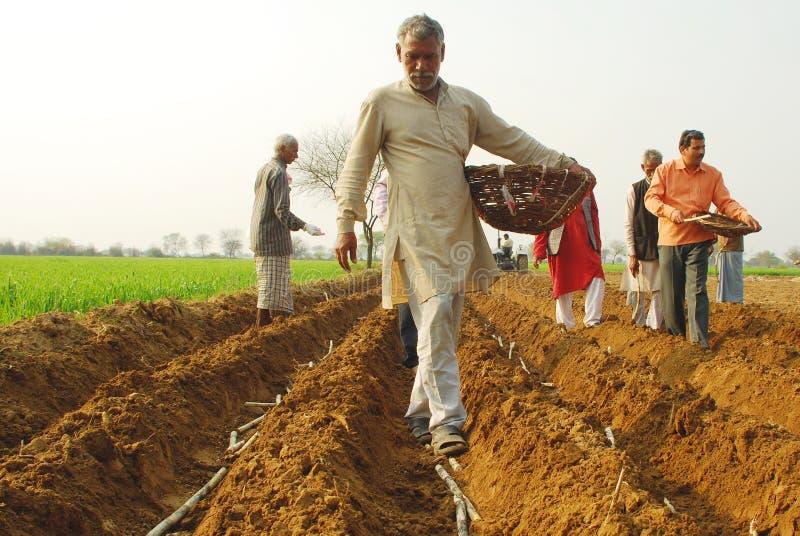 Sugar cane plantation. In uttar pradesh, rural India stock photography