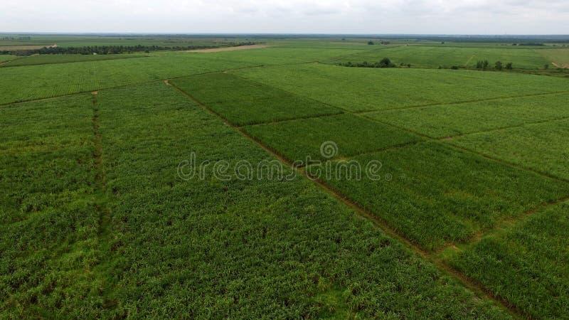Sugar cane plantation in asia. Sugarcane plantation in asia, indonesia, cultivation area, farmer, green field, biggest plantation in asia stock photo