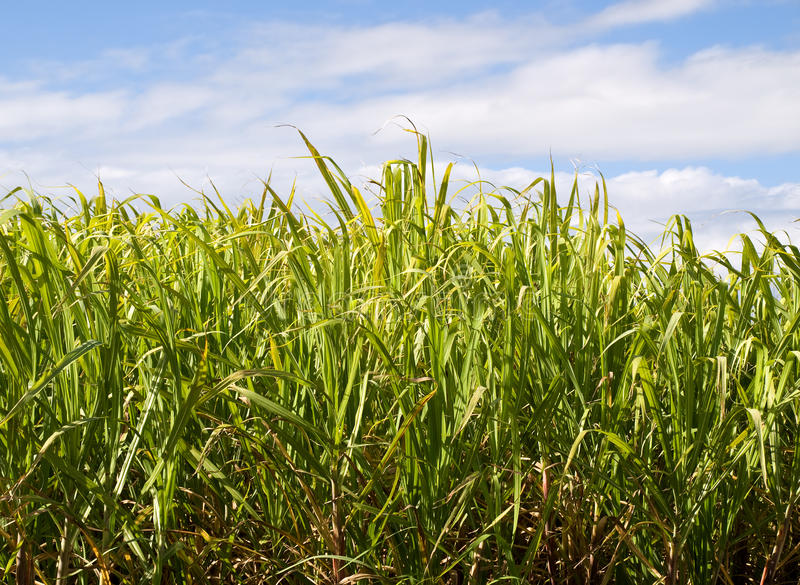 Sugar cane plantation closeup used in biofuel royalty free stock image