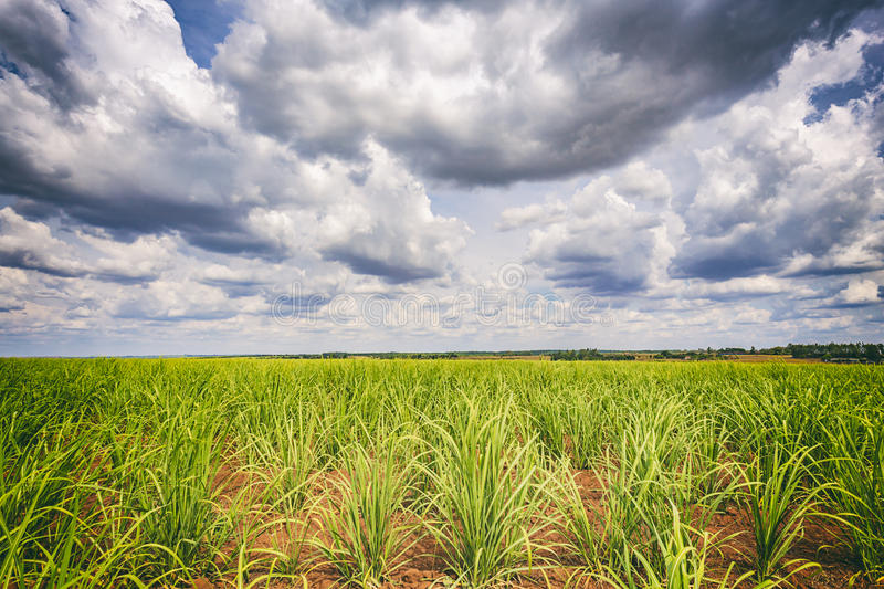 Sugar cane plantation and cloudy sky - Brazil coutryside. Sugar cane plantation and cloudy sky in Brazil coutryside stock images