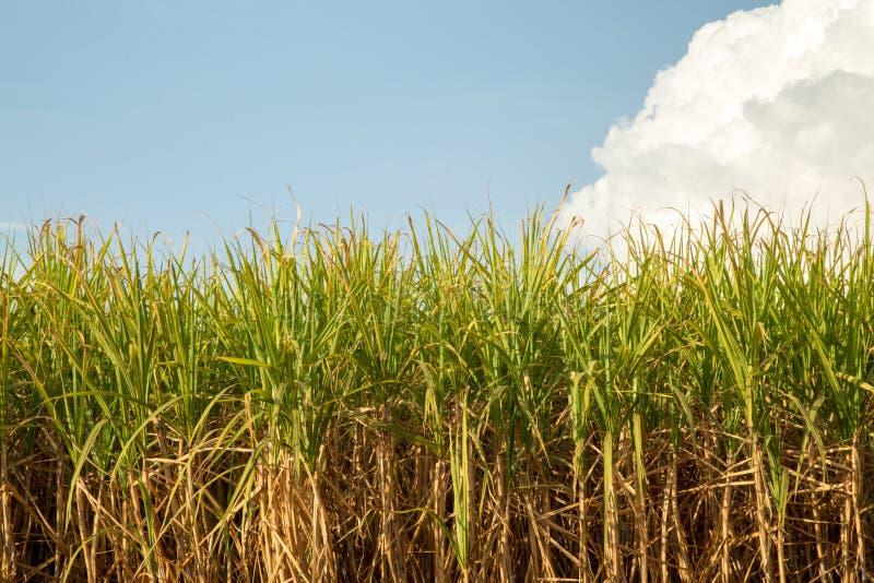 Sugar cane plantation field. Plant nature farm stock photo