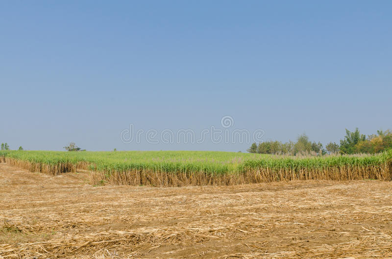 Sugar cane plantation. On the harvest season in Tak Thailand royalty free stock image