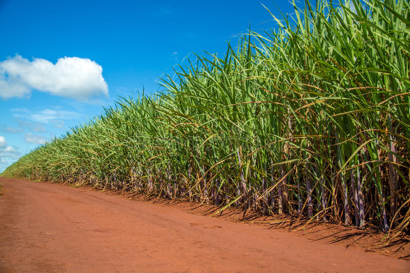 Sugar cane plantation road. Field stock photo