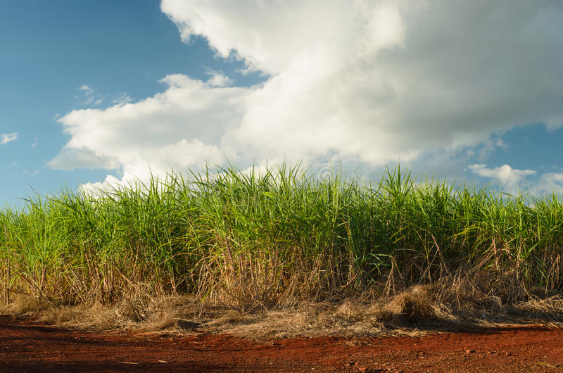 Sugar cane plantation. In São Pulo, Brazil royalty free stock photography
