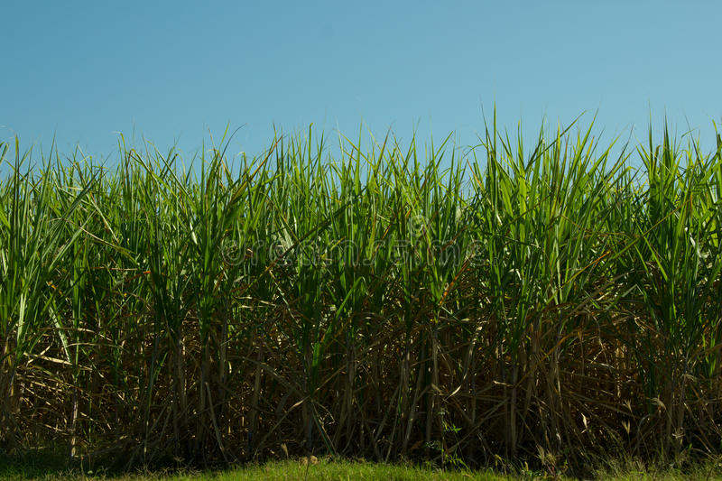 Sugar Cane Plantation. In South-West Brazil for production of Sugar or Etanol or Alcohol royalty free stock photo