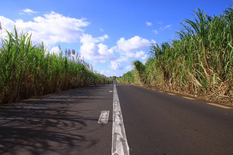 Sugar cane plants stock photos