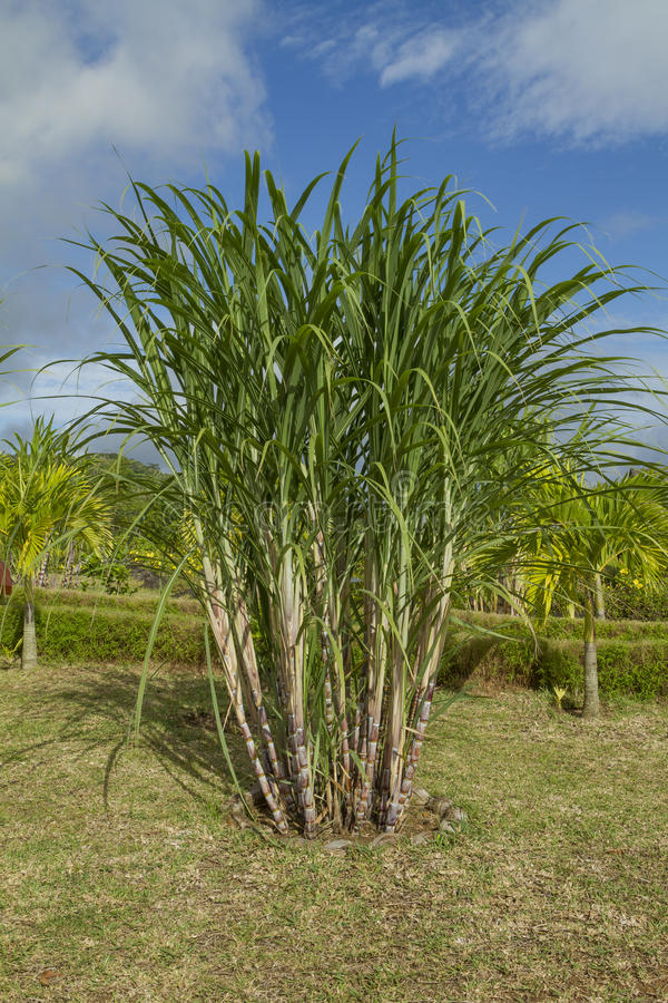 Sugar cane plants stock images