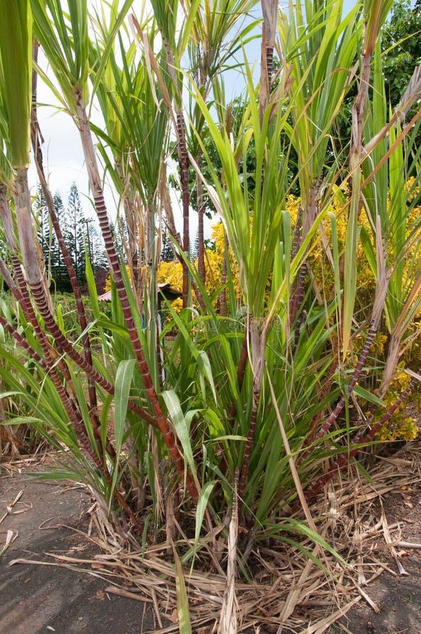 Sugar cane plants grow at a farm in Kauai, Hawaii. royalty free stock photography