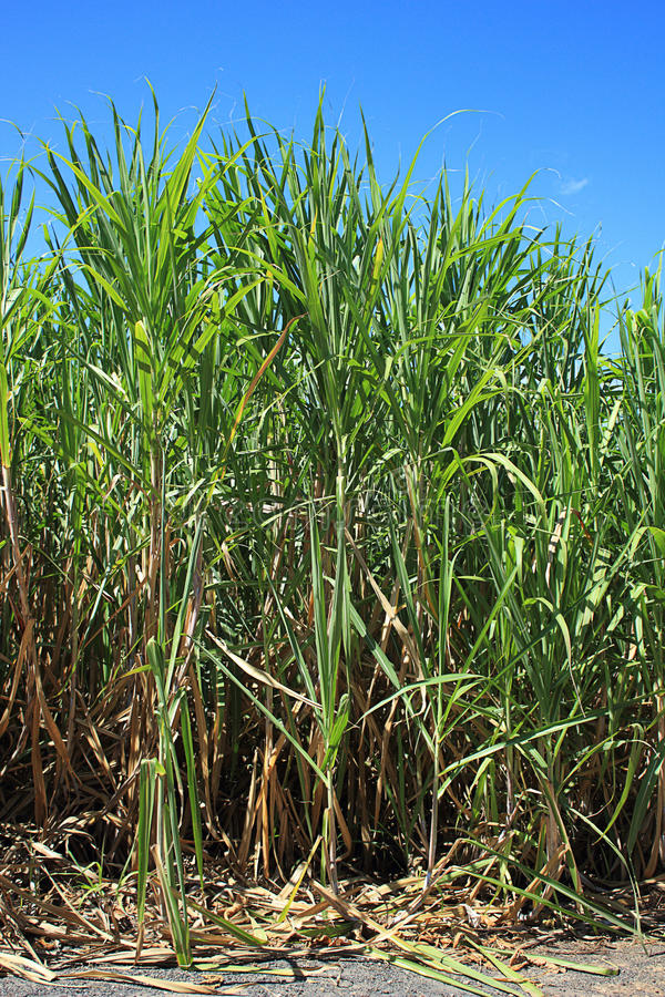 Sugar cane plants with lush green leaves. Image of sugar cane plants in the field, with long lush green leaves against a blue tropical sky. Scientific name stock images