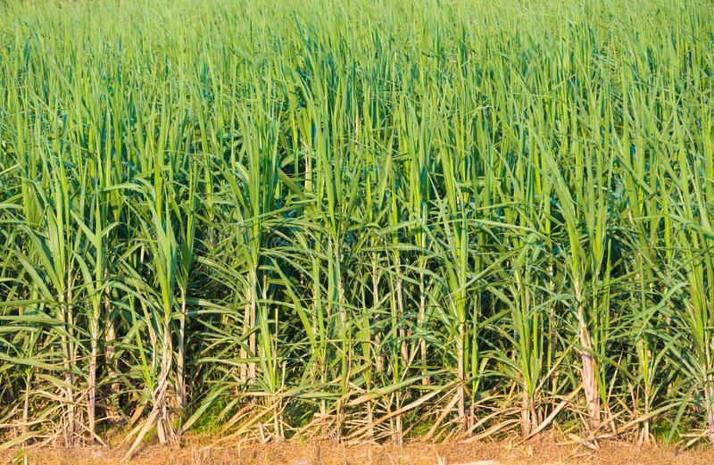 Sugar cane plants. Many sugar cane plants in the field royalty free stock images