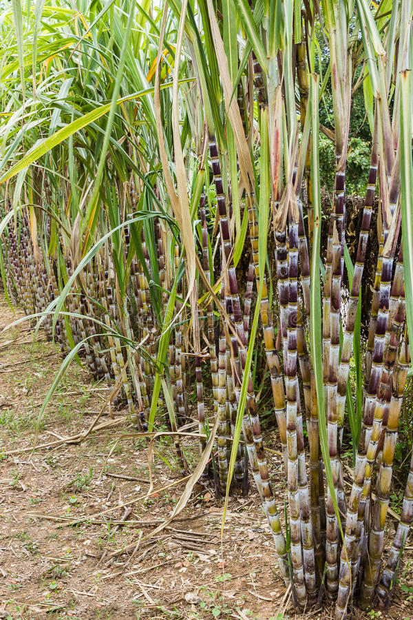 Sugar cane plants nature background. Close up sugar cane plants nature background stock images
