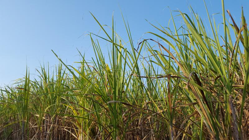 Sugar cane plants with various variants. royalty free stock photos