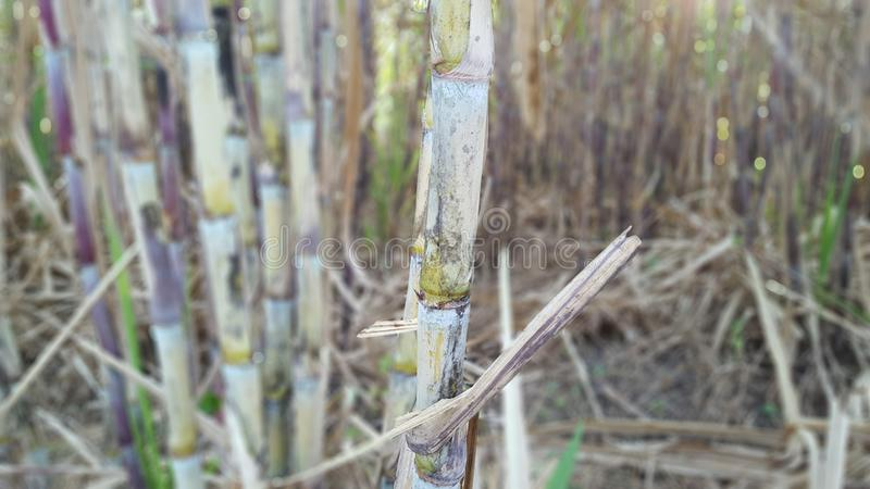 Sugar cane plants with various variants. stock images