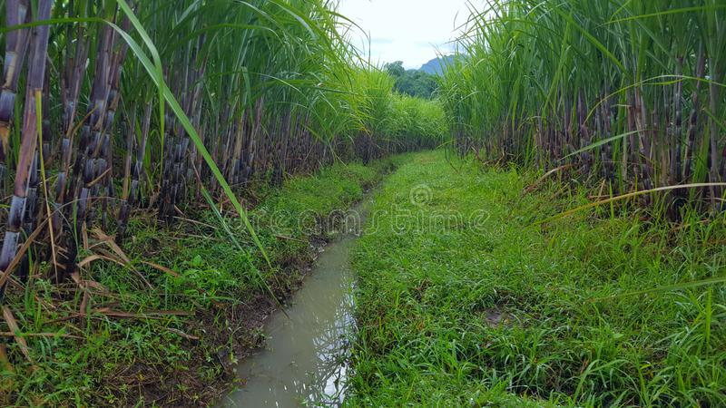 Sugar cane stems, sugar-producing plants. stock photography