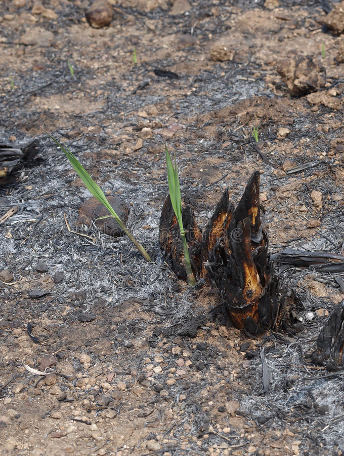 Sugar cane to burn. Sugar cane stump after to harvest stock photography