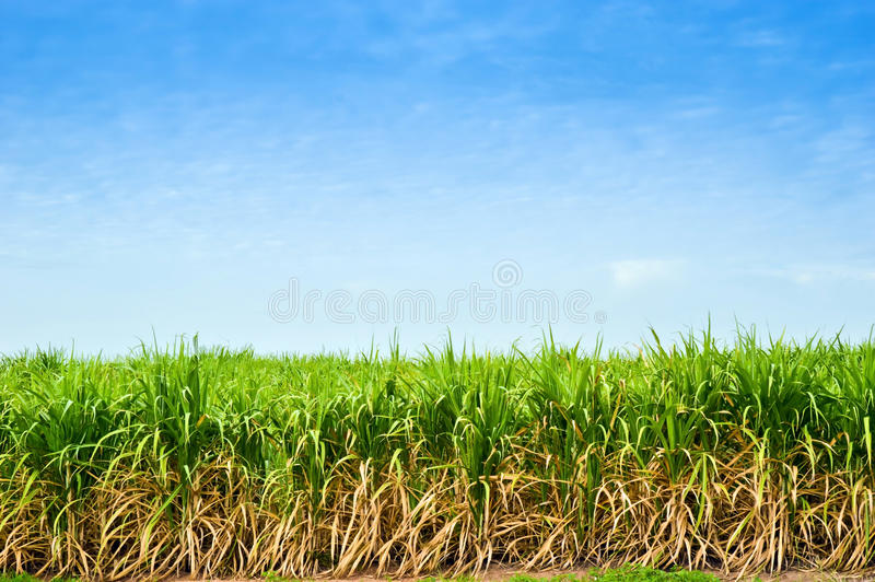 Sugar cane trees. With sky background in thailand,industrial crop stock photography