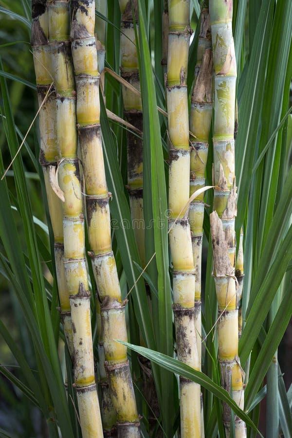 Sugar canes in the garden. Sugar canes in the garden for consumption royalty free stock photo