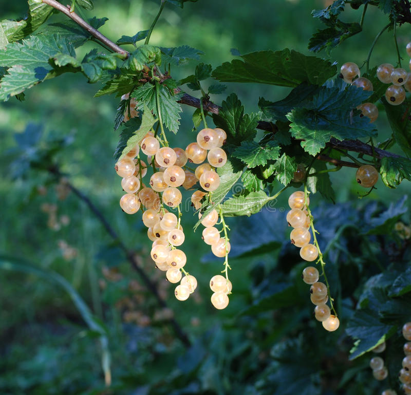 Download Sugar Currant Ripens In The Garden Stock Image - Image: 25511667