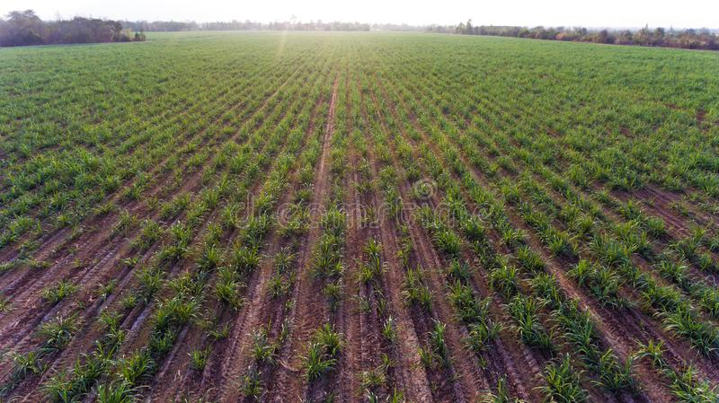 Sugar farm field top view. Bird eye view from drone, sugar farm field top view royalty free stock images