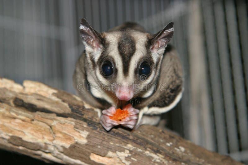 Download Sugar Glider stock photo. Image of marsupial, furry, exotic - 160092