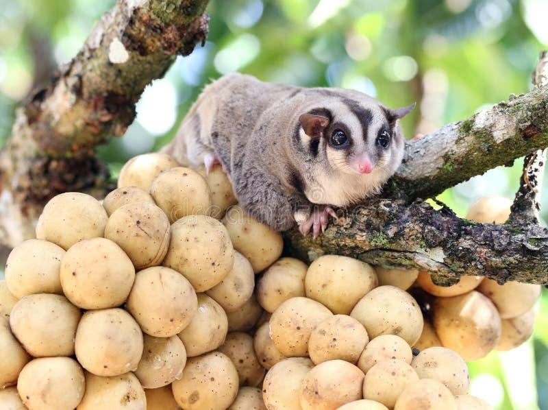 Sugar Glider bonito que guarda sobre a árvore do domesticum de Lansium do grupo mim imagens de stock