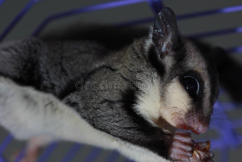 Download Sugar glider eating stock photo. Image of macro, image - 22133770