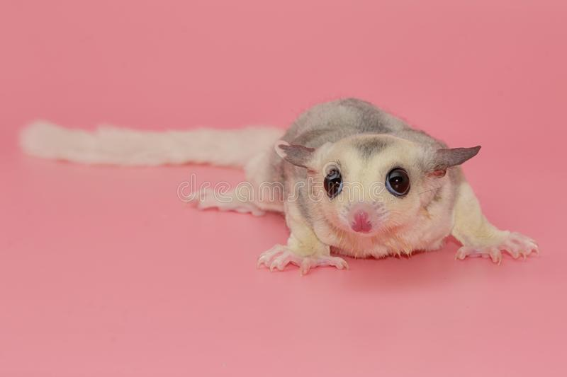 sugar glider leucistic . Petaurus breviceps, on pink backgr royalty free stock photography