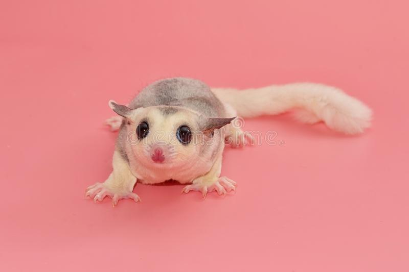 Sugar glider leucistic . Petaurus breviceps, on pink backgr stock photography