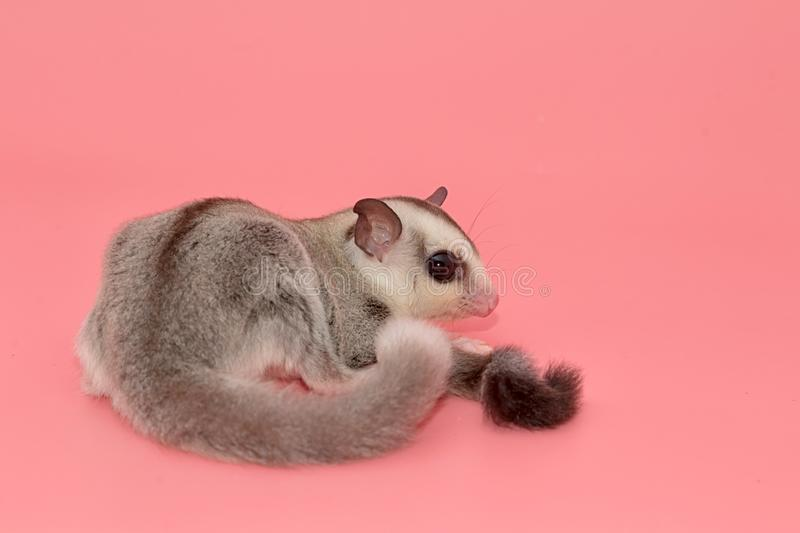 Sugar glider leucistic . Petaurus breviceps, on pink backgr stock images