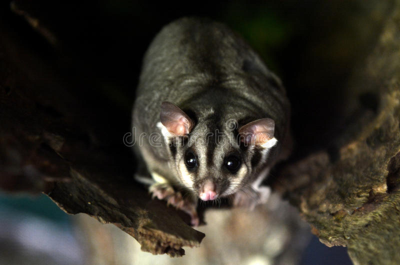 Sugar glider live inside a tree log royalty free stock photography
