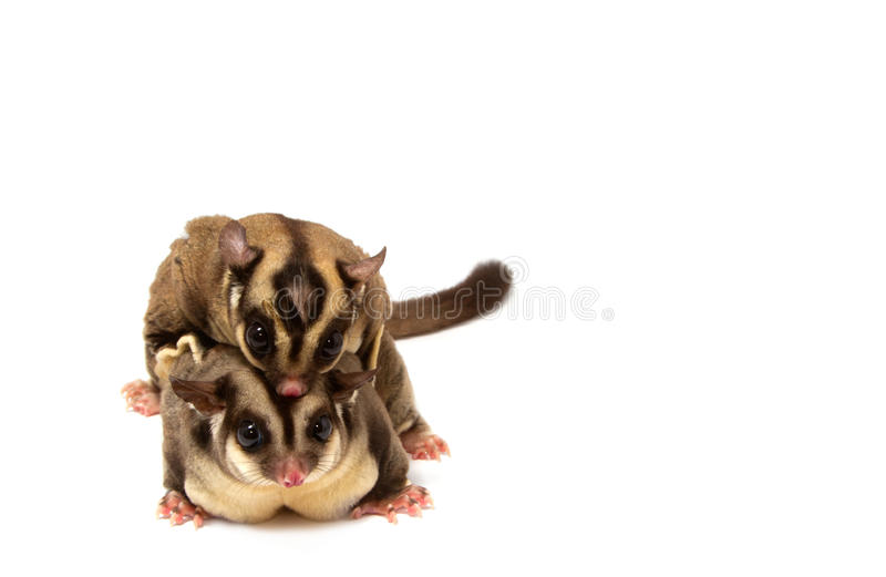 Sugar glider in love royalty free stock image