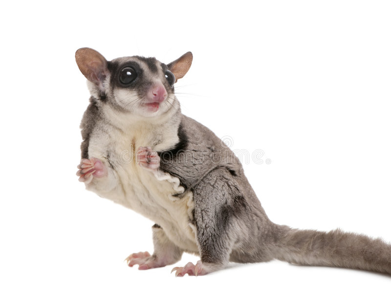 Sugar glider - Petaurus breviceps (3 years old) royalty free stock photo