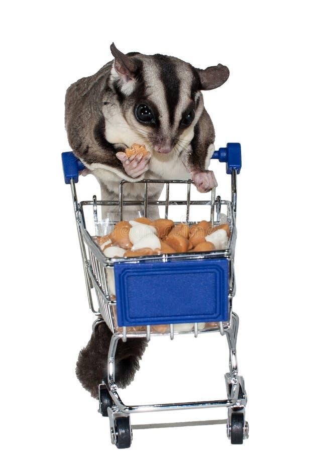 Sugar Glider Shopping para o deleite foto de stock royalty free