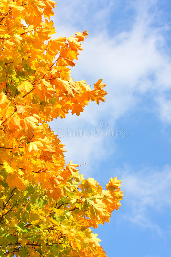 Sugar Maple (Acer Saccharum). stock image