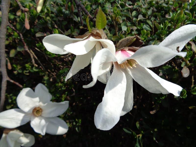 Sugar Maple Leaf imagen de archivo