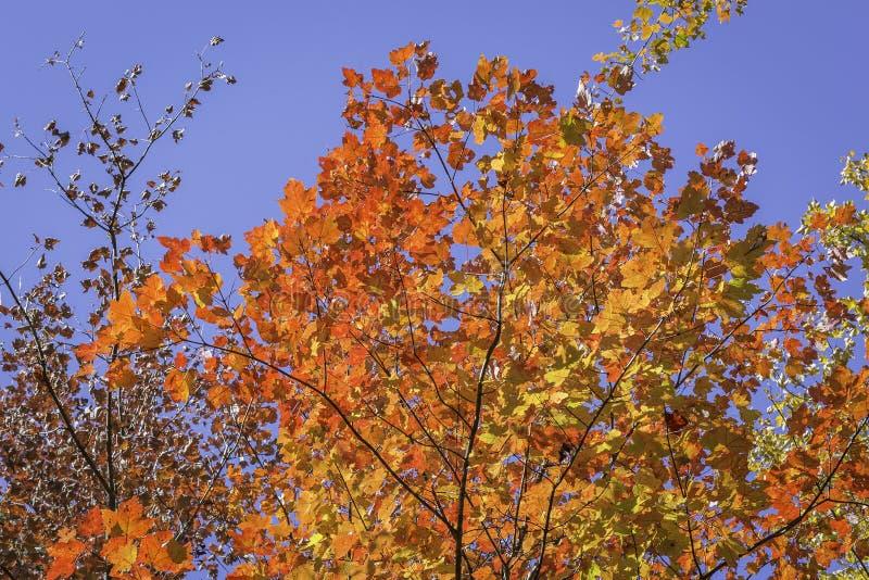 Sugar Maple Tree in autunno - Ontario, Canada immagini stock libere da diritti