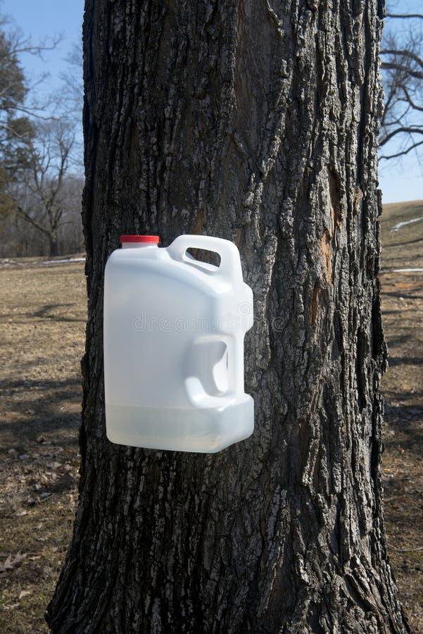 Sugar Maple Tree met Kruik die Sap voor Stroop verzamelen stock afbeeldingen