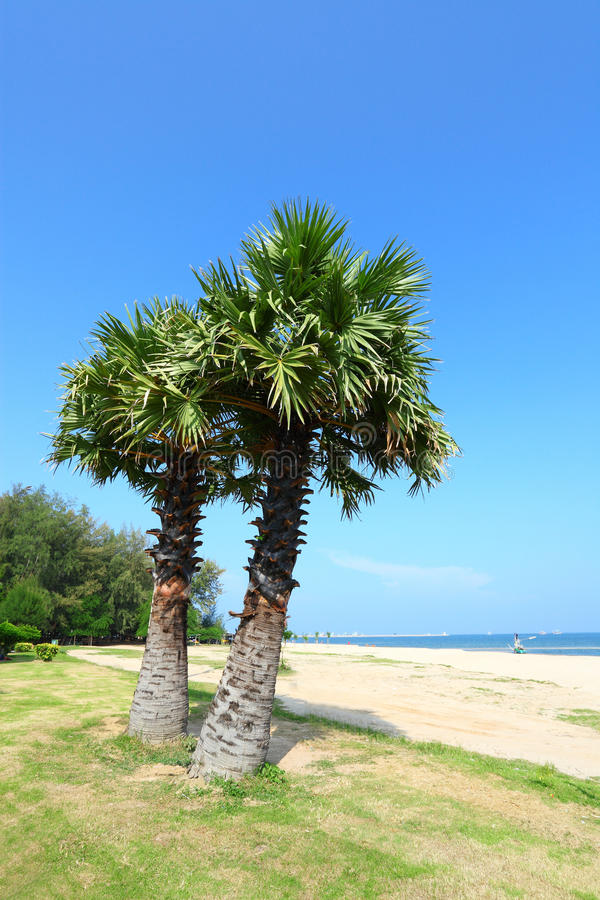 Download Sugar Palm On The Beach With Blue Sky Backgrou Stock Image - Image: 27175267