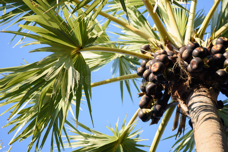 Sugar palm fruits royalty free stock photos