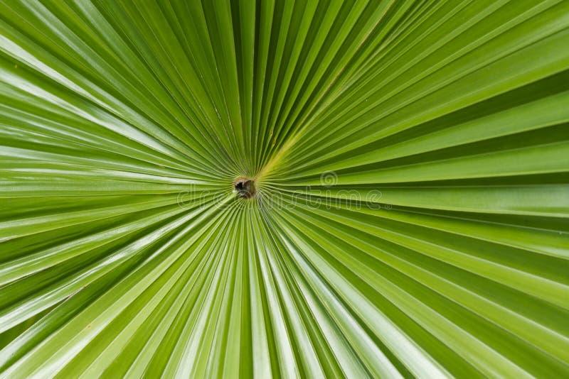 Sugar palm leaf. A middle of sugar palm leaf stock photos